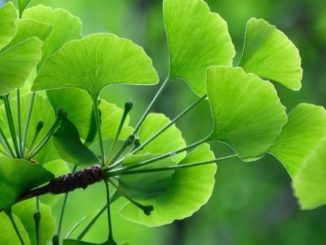 Ginkgo Biloba - Nootropic Info & Review