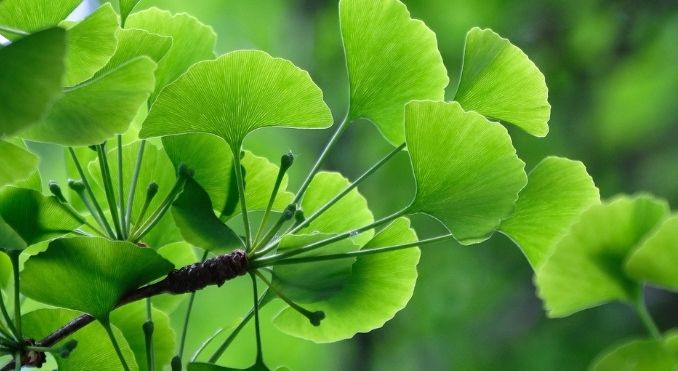 Ginkgo Biloba - Nootropic Info & Review